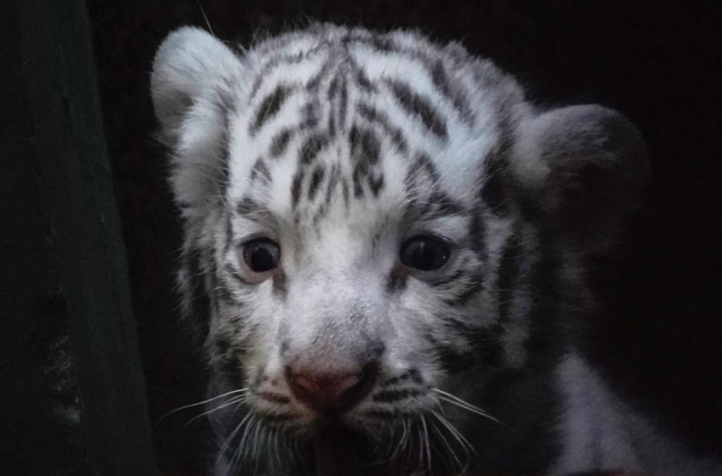 เสือโคร่ง ขาวเกิดที่สวนสัตว์ฮาวานาในคิวบา เสือโคร่งเป็นหนึ่งในสี่ตัวที่เกิดในวันที่ 12 มีนาคมเสือขาวเป็นรูปแบบทางพันธุกรรมของเสือโคร่งเบงกอล