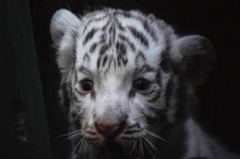 เสือโคร่ง ขาวเกิดที่สวนสัตว์ฮาวานาในคิวบา